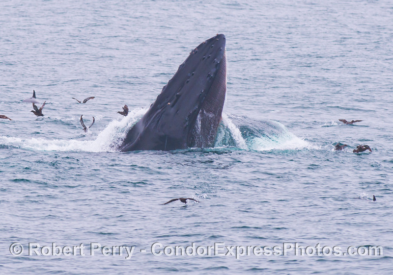 A surface lunge feeding humpback whale (<em>Megaptera novaeangliae</em>) scatters the sooty shearwaters (<em>Puffinus griseus</em>).