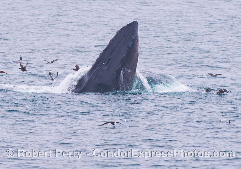 A surface lunge feeding humpback whale (<em>Megaptera novaeangliae</em>) scatters the sooty shearwaters (<em>Puffinus griseus</em>).
