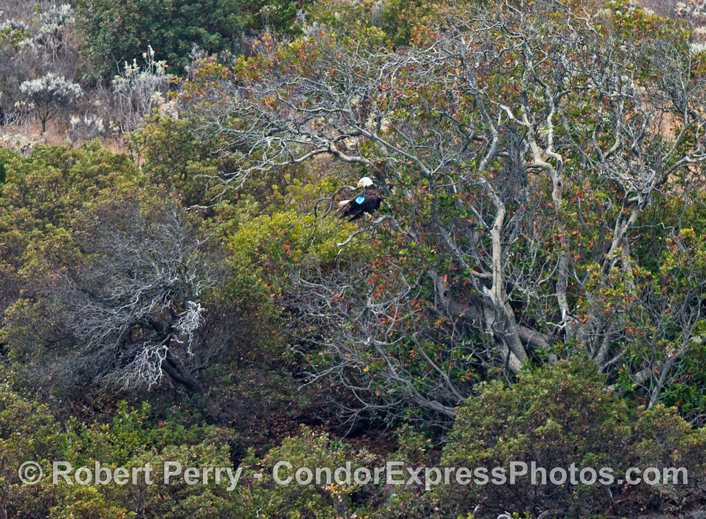 A bald eagle (<em>Haliaeetus leucocephalus</em>) flew around being chased by western gulls, then perched in this tree on Santa Cruz Island.