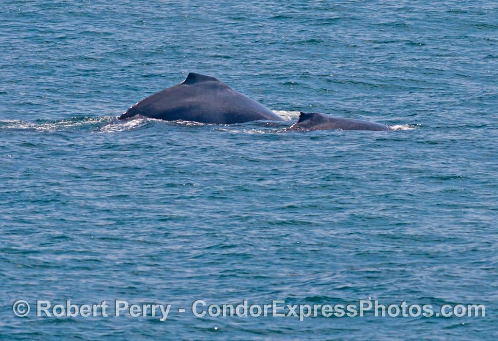 A mother and calf humpback whale (<em>Megaptera novaeangliae</em>).