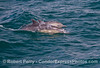 Delphinus capensis cow & calf 2013 06-17 SB Channel-a-017