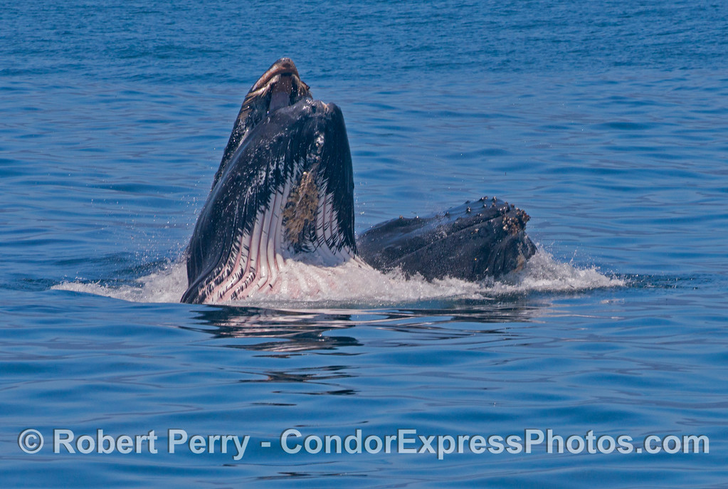 "Two surface lunge feeding humpback whales (<em>Megaptera novaeangliae</em>).  The whale on the left has damaged baleen and I call it ""Moustachio."""