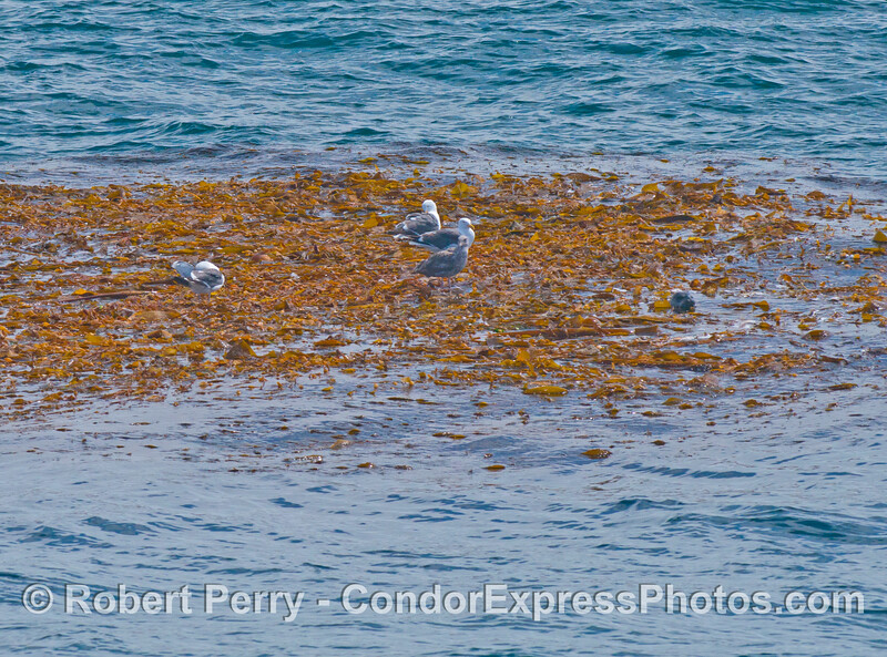 Larus Phoca vitulina on Macrocystis paddy 2013 06-17 SB Channel-103