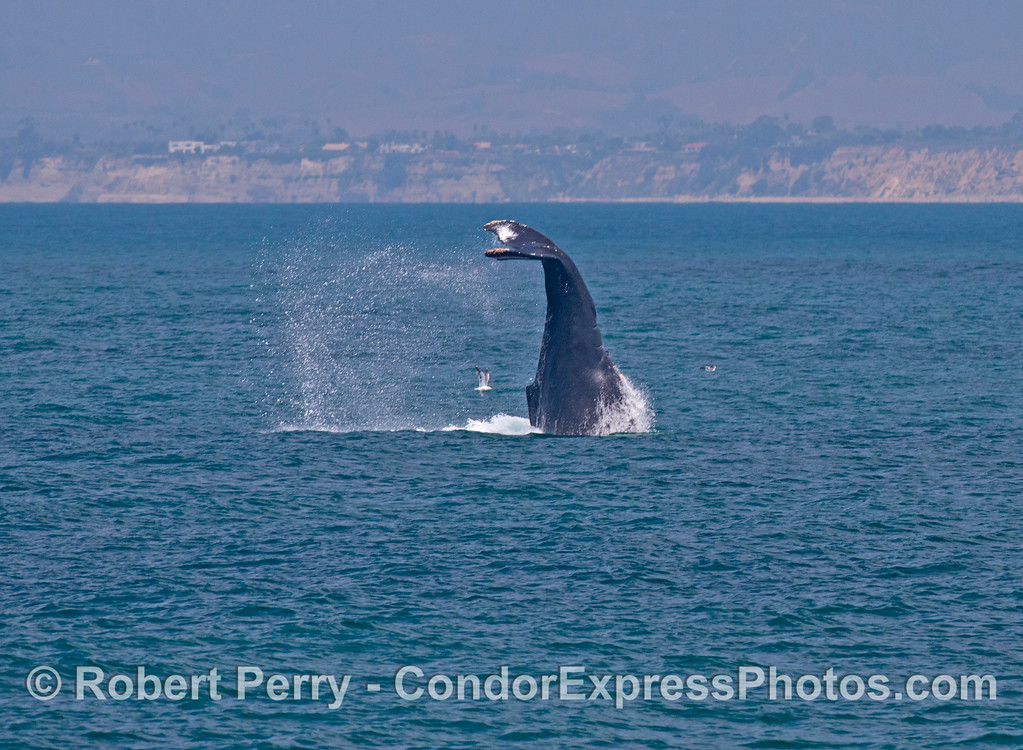 "Image 2 of 2:    A large female humpback whale (<em>Megaptera novaeangliae</em>) performed this crazy maneuver which resembled a ""head stand"" with its tail in air, straight up and down."