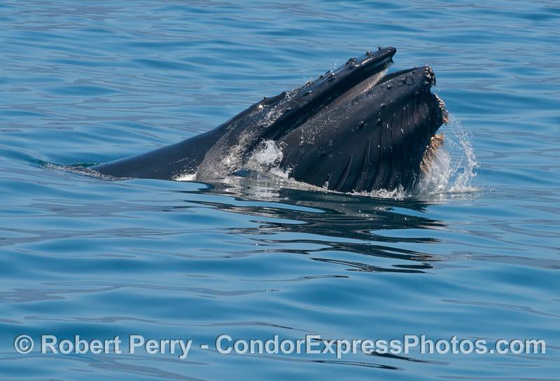 A surface lunge feeding humpback whale (<em>Megaptera novaeangliae</em>).