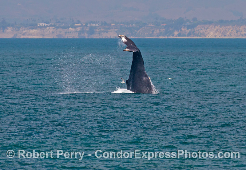 "Image 1 of 2:    A large female humpback whale (<em>Megaptera novaeangliae</em>) performed this crazy maneuver which resembled a ""head stand"" with its tail in air, straight up and down."