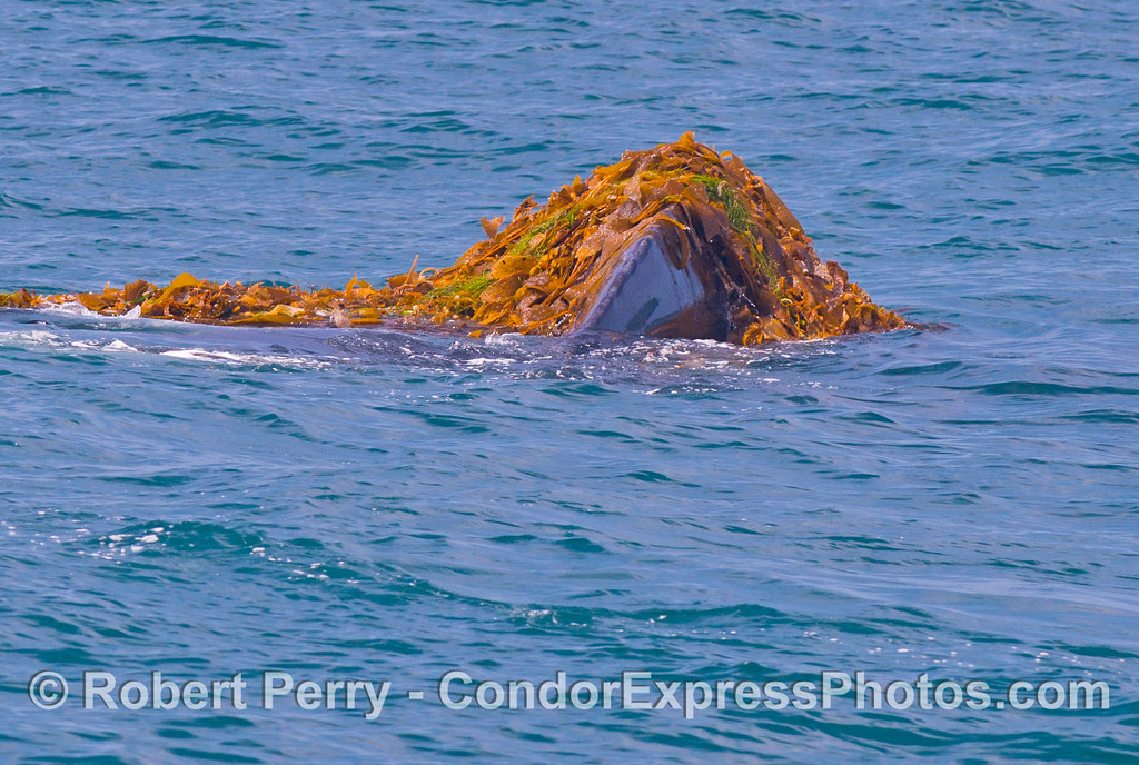 Image 3 of 5:   A humpback whale (<em>Megaptera novaeangliae</em>) is observed kelping....intentionally messing around in a drifting paddy of giant kelp (<em> Macrocystis pyrifera</em>) and other seaweeds.