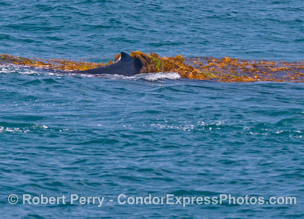 Image 1 of 5:   A humpback whale (<em>Megaptera novaeangliae</em>) is observed kelping....intentionally messing around in a drifting paddy of giant kelp (<em> Macrocystis pyrifera</em>) and other seaweeds.