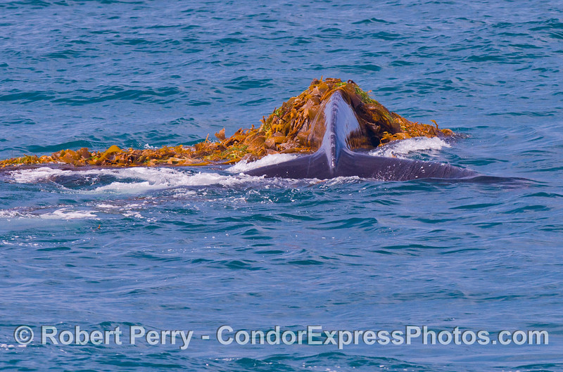 Image 5 of 5:   A humpback whale (<em>Megaptera novaeangliae</em>) is observed kelping....intentionally messing around in a drifting paddy of giant kelp (<em> Macrocystis pyrifera</em>) and other seaweeds.