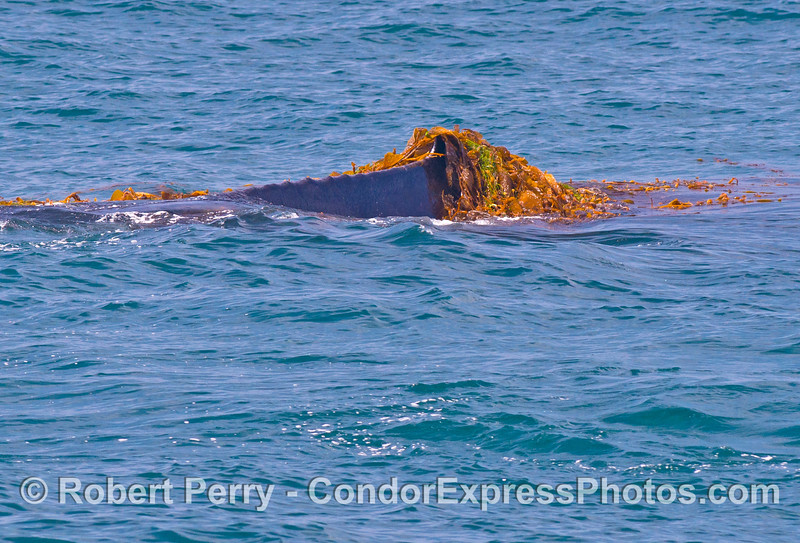 Image 2 of 5:   A humpback whale (<em>Megaptera novaeangliae</em>) is observed kelping....intentionally messing around in a drifting paddy of giant kelp (<em> Macrocystis pyrifera</em>) and other seaweeds.