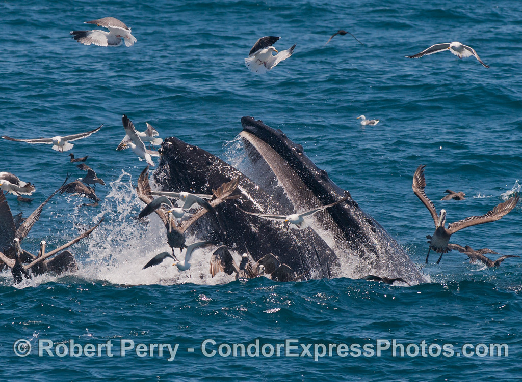 Image 2 of 3:  a closer look at a mighty humpback whale (<em>Megaptera novaeangliae</em>) breaking the surface and lunging to engulf a school of northern anchovies (<em>Engraulis mordax</em>).