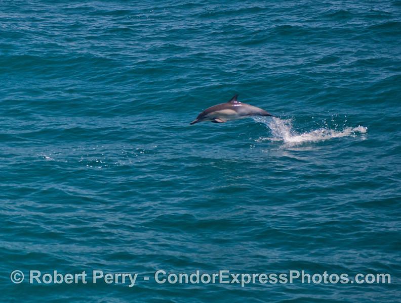 Delphinus capensis 2013 06-18 SB Coast-008