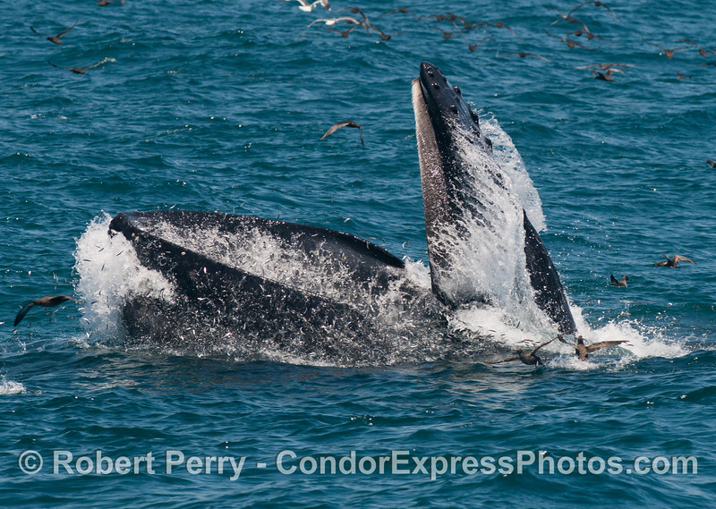 Image sequence 2 of 3.  A surface lunge feeding humpback whale (<em>Megaptera novaeangliae</em>) with it's huge mouth wide open and containing thousands of northern anchovies (Engraulis mordax</em>) all trying to escape their fate.  The lower jaw and huge oral pouch is under water and full of bait fish.  The baleen rimmed upper jaw is closing rapidly at this point.