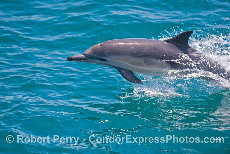 Delphinus capensis 2013 06-18 SB Coast-d-080