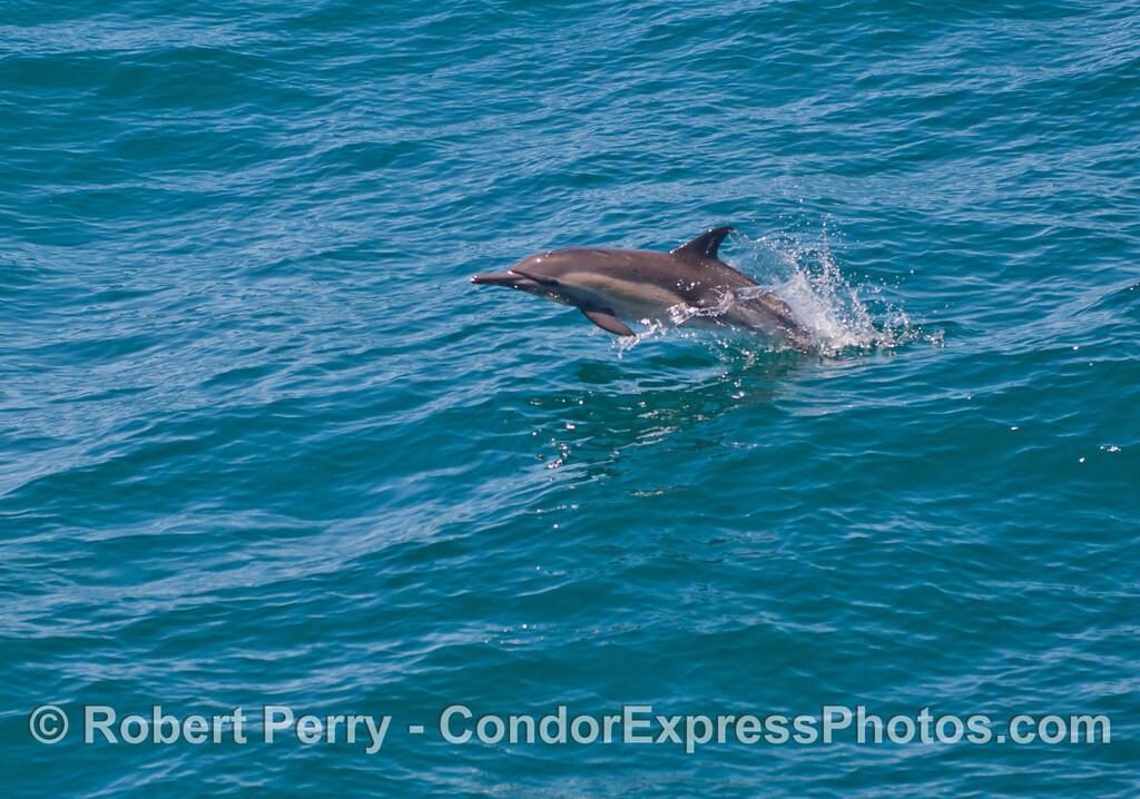 Delphinus capensis 2013 06-18 SB Coast-024