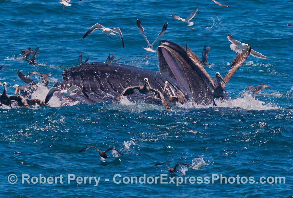 Image 3 of 3: the pink soft palate and baleen in the upper jaw is visible as a mighty humpback whale (<em>Megaptera novaeangliae</em>) breaks the surface and lunges to engulf a school of northern anchovies (<em>Engraulis mordax</em>).