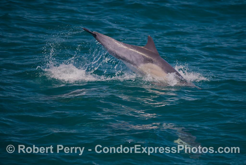 Delphinus capensis 2013 06-18 SB Coast-d-023