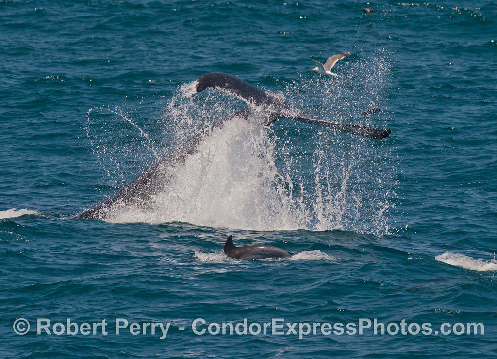 Image 2 of 3:   a juvenile humpback whale (<em>Megaptera novaeangliae</em>) throws its tail and makes a big splash.