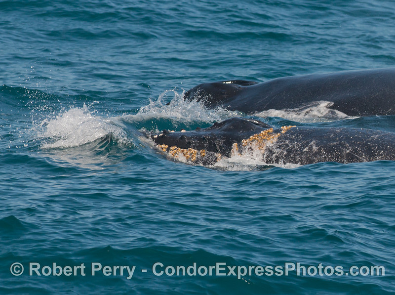 Mother and calf humpback whales (<em>Megaptera novaeangliae</em>).