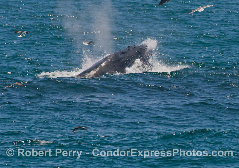 The later stage of a feeding surface lunge by a humpback whale (<em>Megaptera novaeangliae</em>).