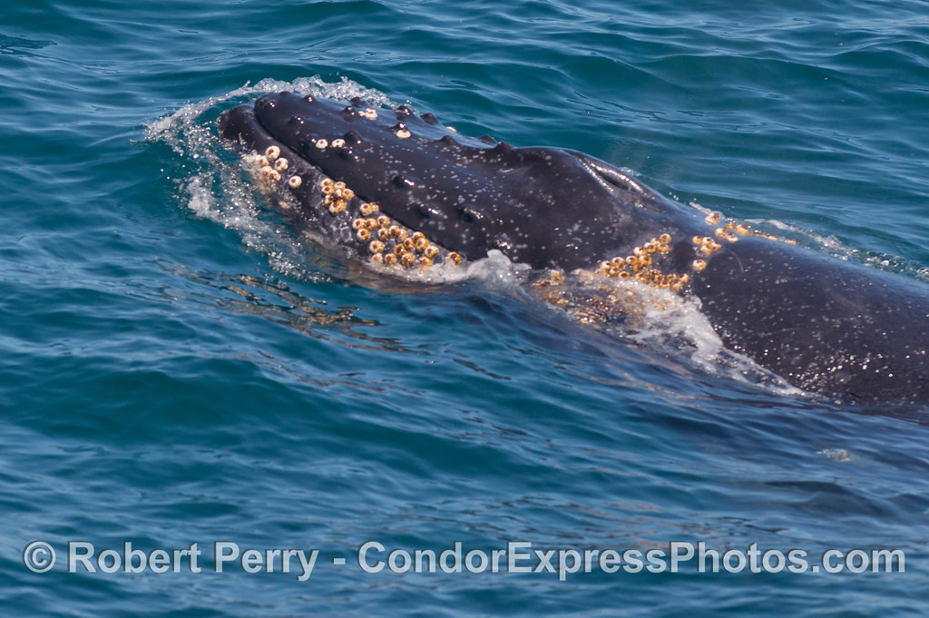Abundant barnacles inhabit the chin and head of this humpback whale (<em>Megaptera novaeangliae</em>).