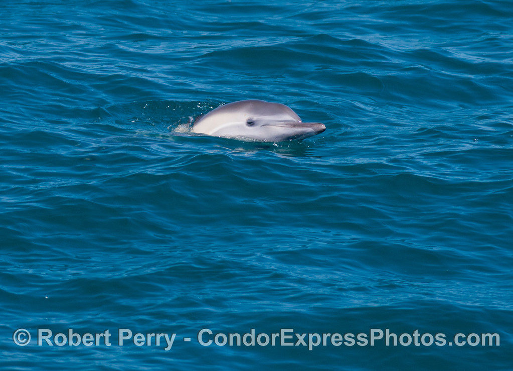 A long beaked common dolphin (<em>Delphinus capensis</em>) pokes its head out of the water gently.