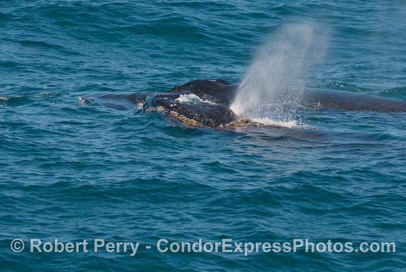 A juvenile humpback whale (<em>Megaptera novaeangliae</em>) spouts as it swims next to its mother.