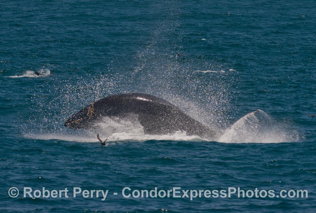 A juvenile breaching humpback whale (<em>Megaptera novaeangliae</em>).