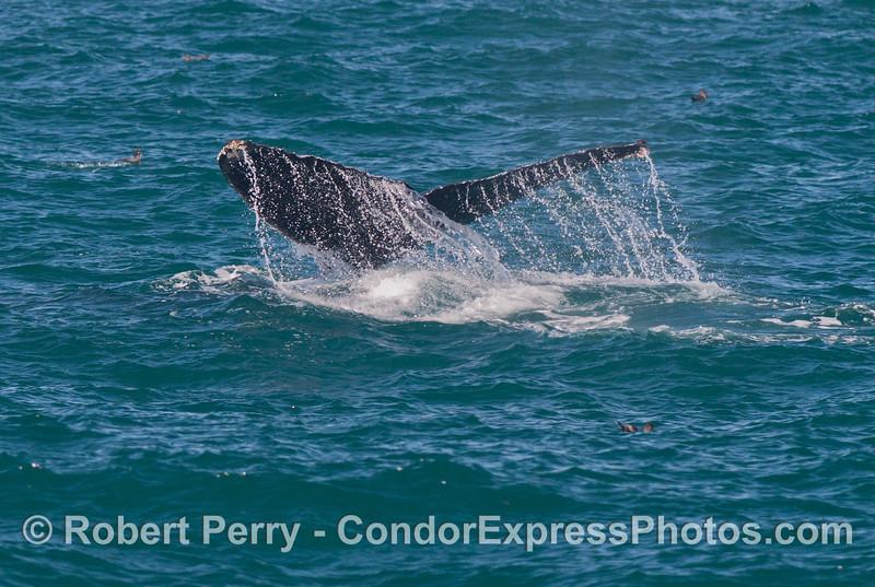 A tail fluke waterfall - humpback whale (<em>Megaptera novaeangliae</em>).