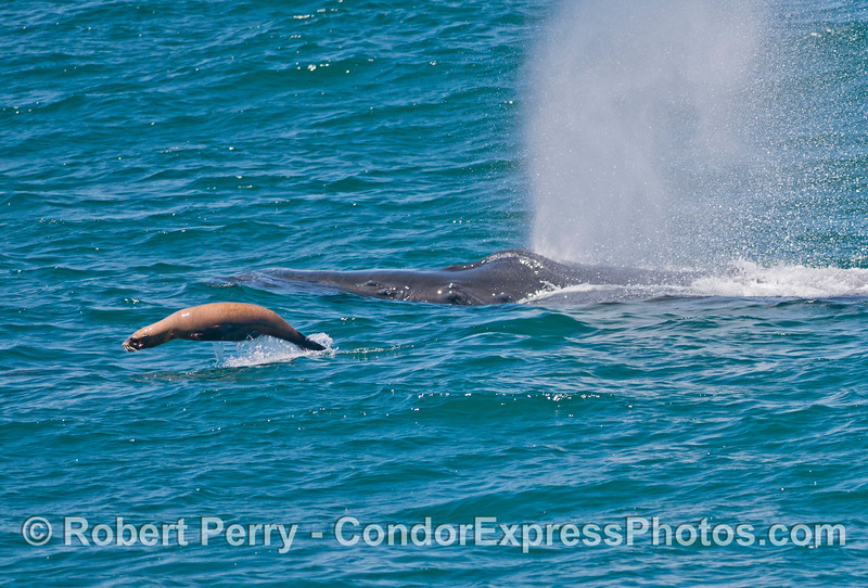 Image 1 of 2:  A California sea lion (<em>Zalophus californianus</em>) rides alongside a humpback whale (<em>Megaptera novaeangliae</em>).