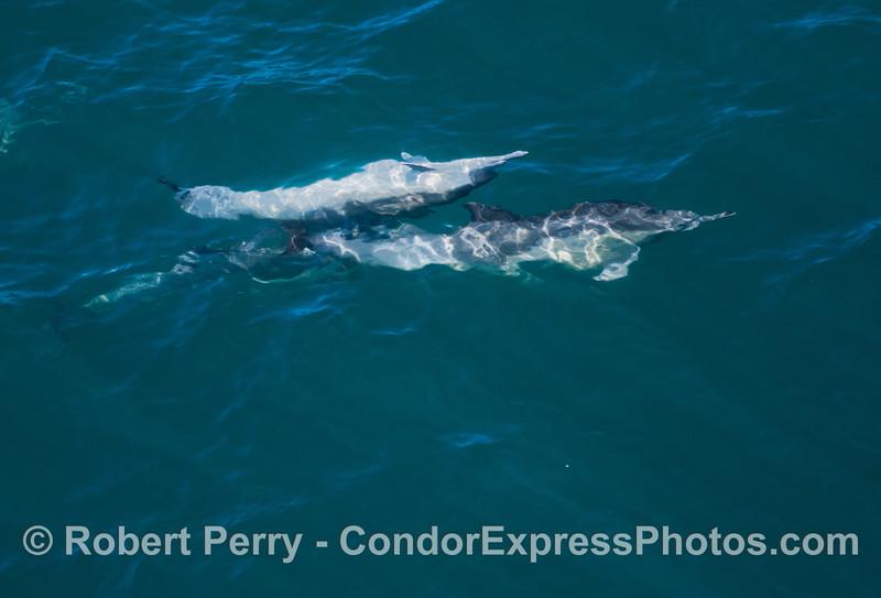 An upside down common dolphin (<em>Delphinus capensis</em>) pesters another.