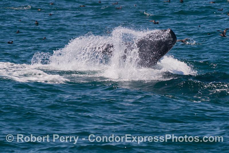 The mighty tail fluke of a deep diving humpback whale (<em>Megaptera novaeangliae</em>).