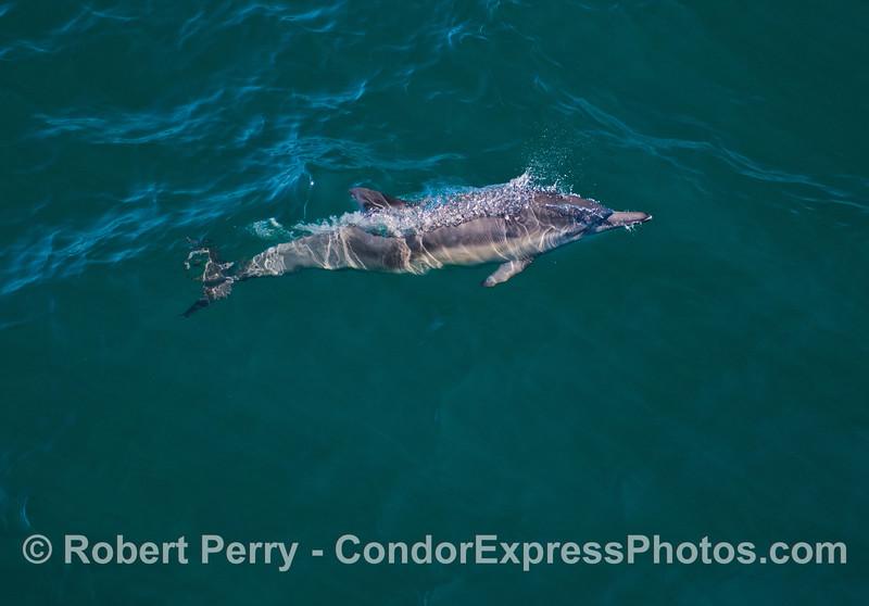 Delphinus capensis 2013 06-19 SB Channel-125