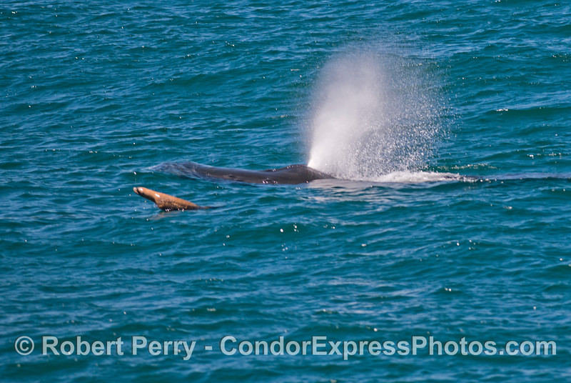 Again we see a humpback whale (<em>Megaptera novaeangliae</em>) with its brown furry friend, a California sea lion (<em>Zalophus californianus</em>).