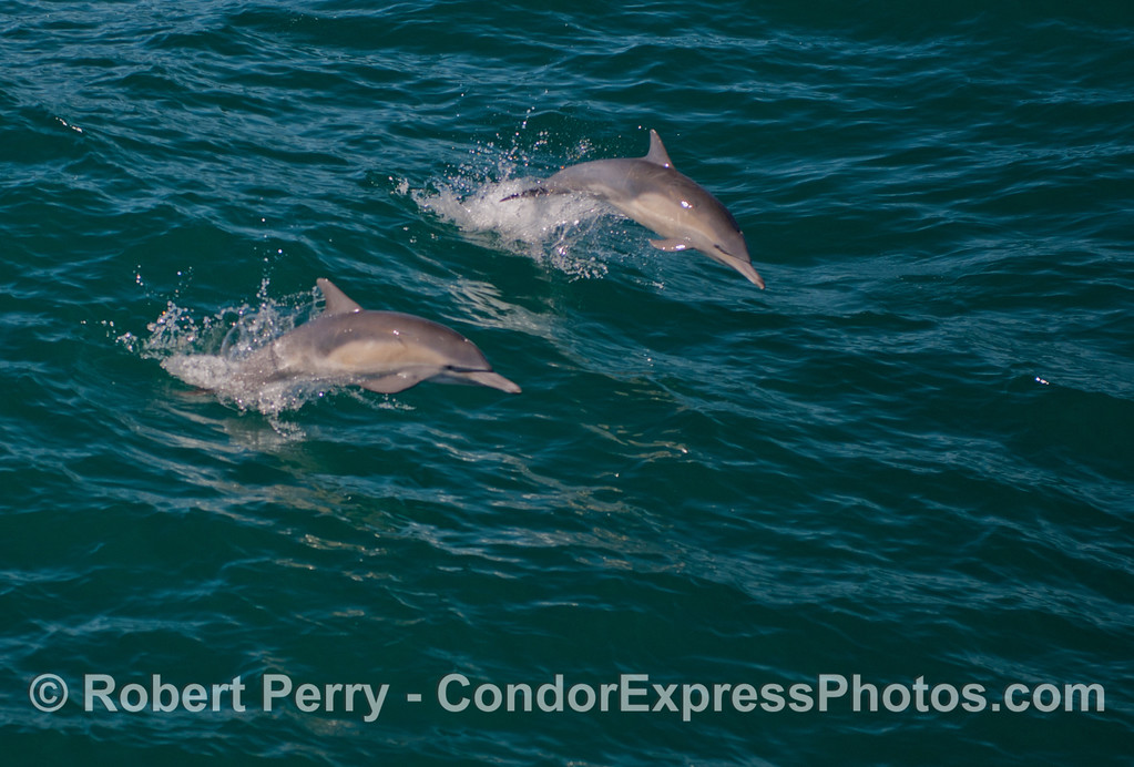 Two airborne common dolphins (<em>Delphinus capensis</em>).