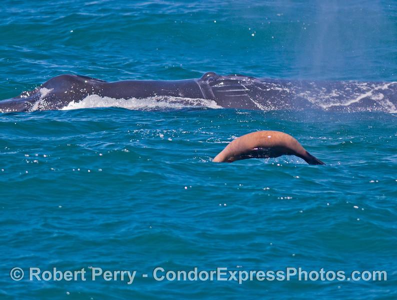 Image 2 of 2:  A California sea lion (<em>Zalophus californianus</em>) rides alongside a humpback whale (<em>Megaptera novaeangliae</em>).
