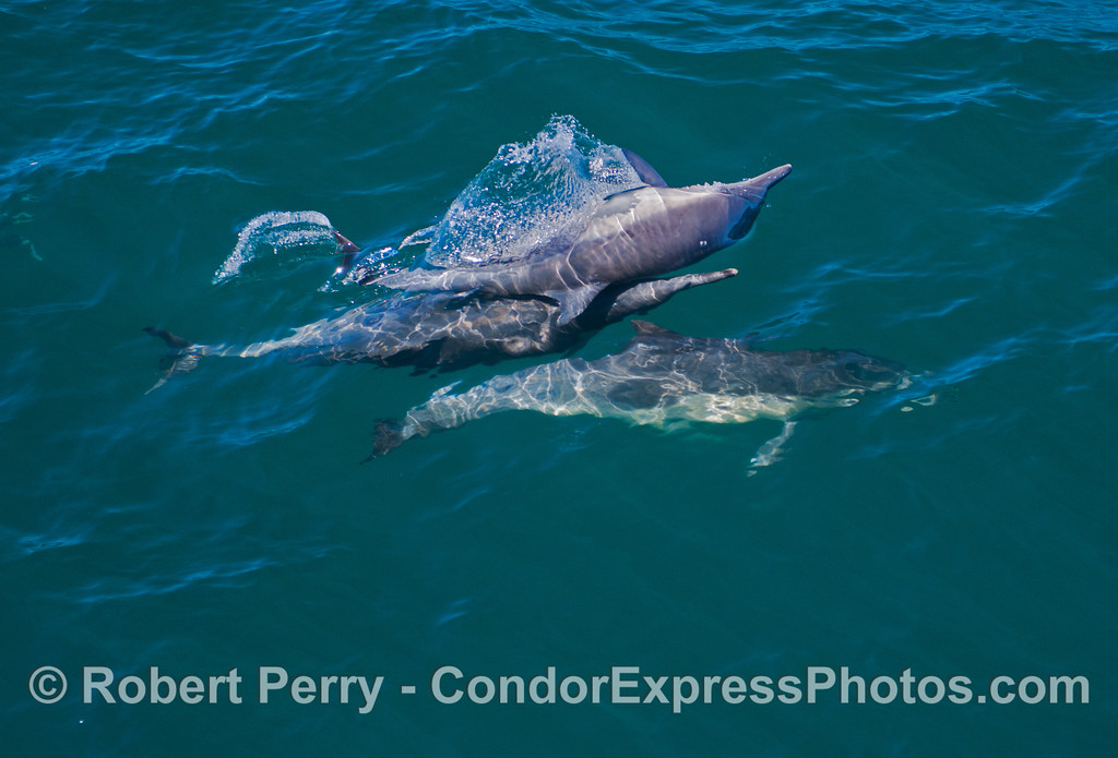 More common dolphin (<em>Delphinus capensis</em>) shenanigans.