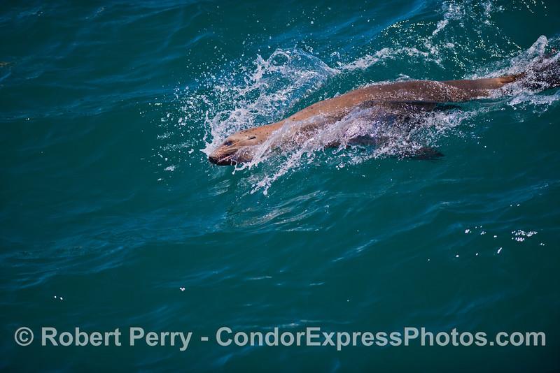 Body surfing California sea lion (<em>Zalophus californianus</em>).
