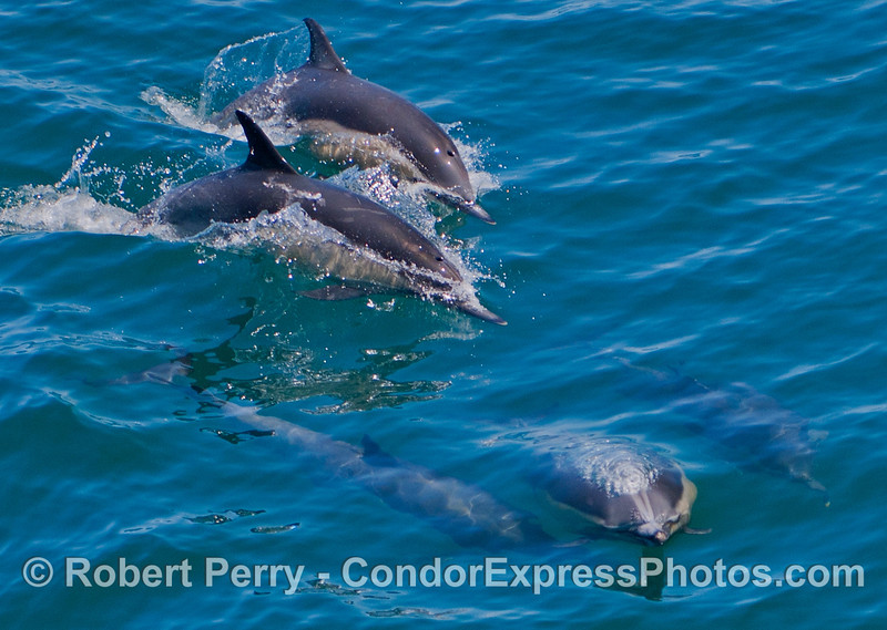 A group of common dolphins (<em>Delphinus capensis</em>).