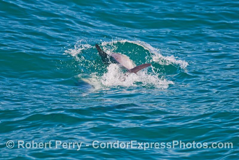 Two frisky common dolphins (<em>Delphinus capensis</em>).