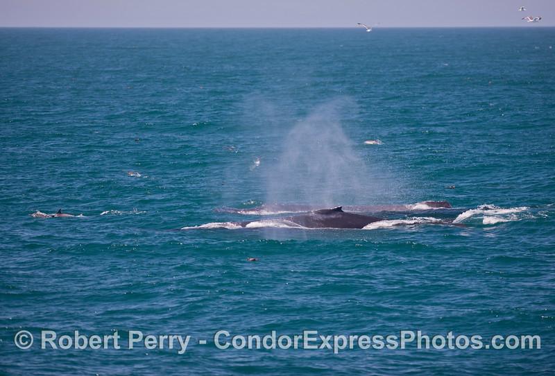 Two humpback whale (<em>Megaptera novaeangliae</em>) and a few common dolphins (<em>Delphinus capensis</em>).