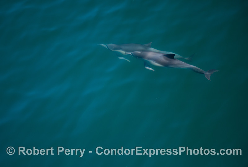 An underwater look at two common dolphins (<em>Delphinus capensis</em>).