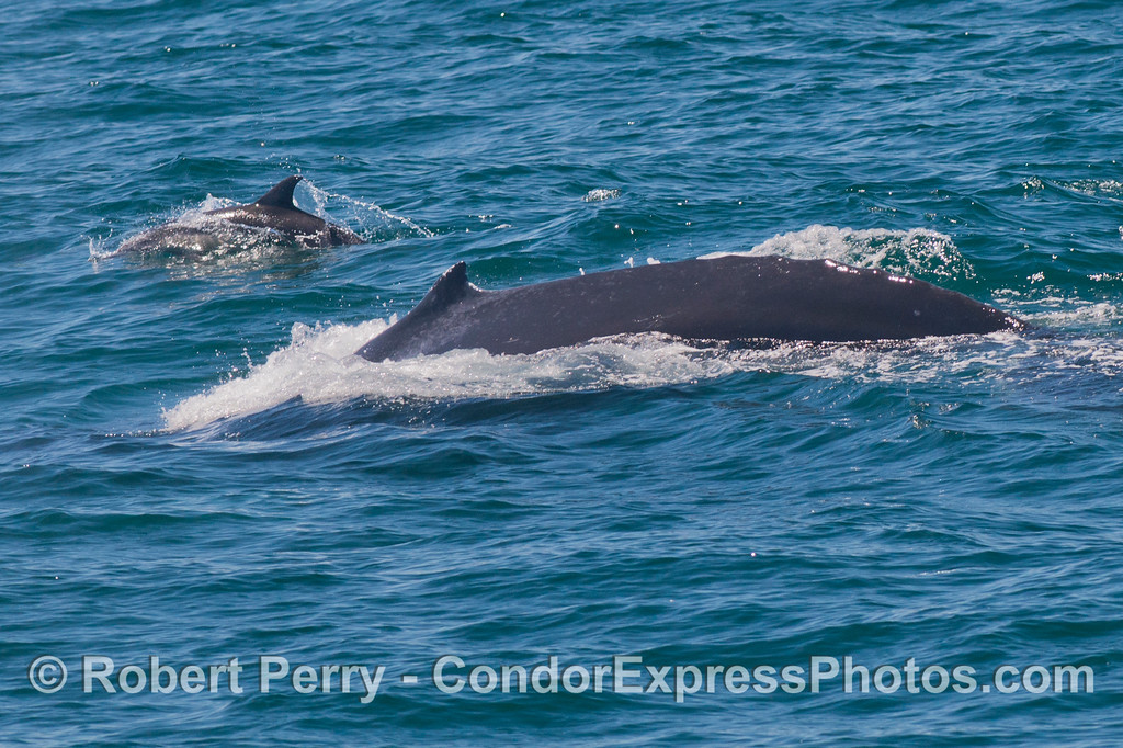 Two dorsal fins - a humpback whale (<em>Megaptera novaeangliae</em>) and a common dolphin (<em>Delphinus capensis</em>).