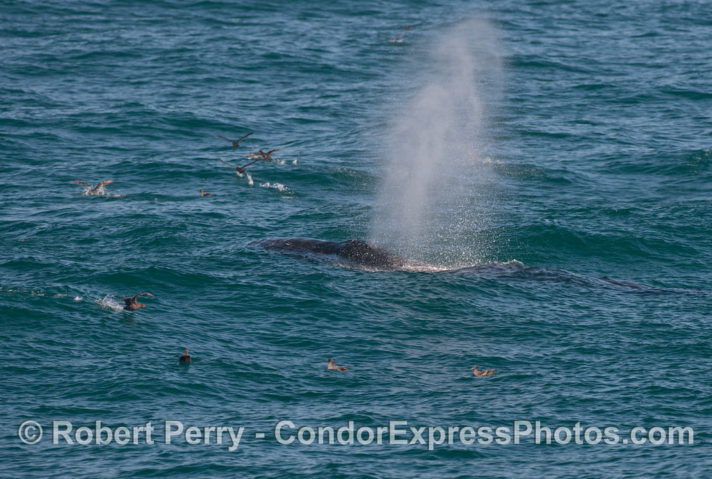 A spouting humpback whale (Megaptera novaeangliae), surrounded by sooty shearwaters (Puffinus griseus), rides the swells.