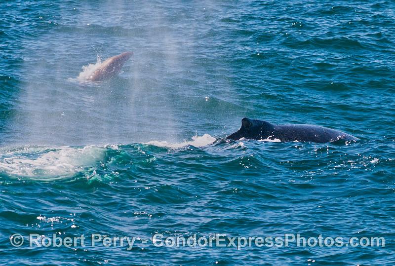 A California sea lion (<em>Zalophus californianus</em>) is hidden by the spray from a spouting humpback whale (<em>Megaptera novaeangliae</em>).