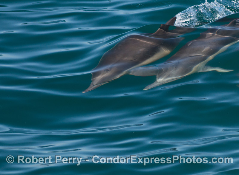 Underwater surfers - two common dolphins (<em>Delphinus capensis</em>) ride a wave.
