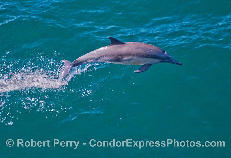 An exuberant common dolphin (<em>Delphinus capensis</em>) takes a leap.