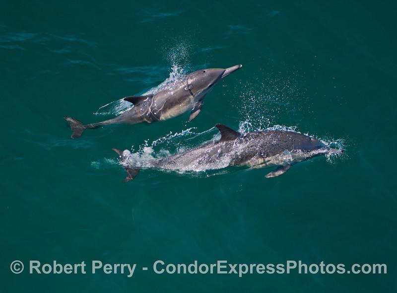 Delphinus capensis 2013 06-19 SB Channel-127