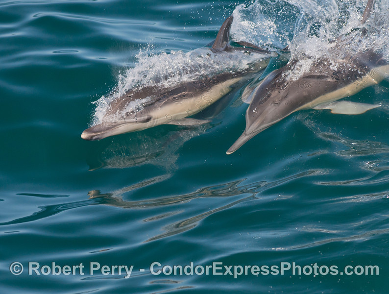 Two speedy common dolphins (<em>Delphinus capensis</em>).