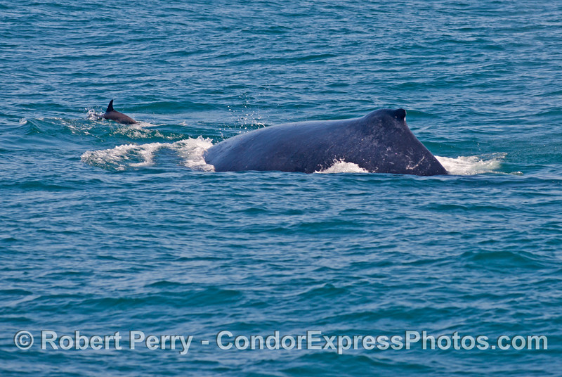 Another humpback whale (<em>Megaptera novaeangliae</em>) with a common dolphin (<em>Delphinus capensis</em>).